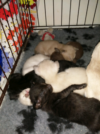 ALL SOLD 6 Siamese and oriental kittens