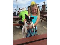 Gawgus pied French bull dog 7 month old