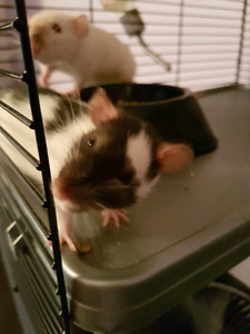 2 female rats and cage accessories