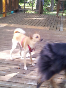 Male Small Dog lost in July near Mississauga Rd & Dundas-Reward