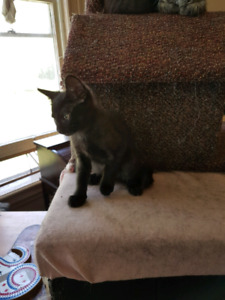 REDUCED $50 - 2 Cuddly Kittens ready for adoption!!