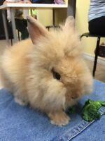 Adorable Lion-head bunny for sale