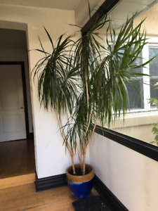 Palm Tree 7' with Beautiful Blue Pot
