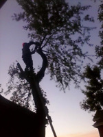 The Tree Guy. Trimming and removal services. Hamilton