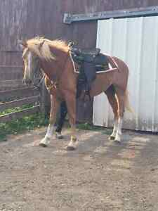 2 yr old stallion  for sale