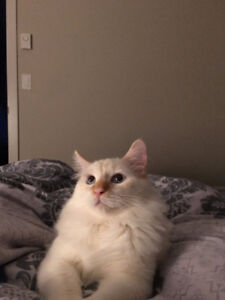 Red Ragdoll needs Reallocation (Negotiable)