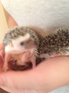 Female & Male Hedgehogs Available  Kawartha Lakes Peterborough Area image 5