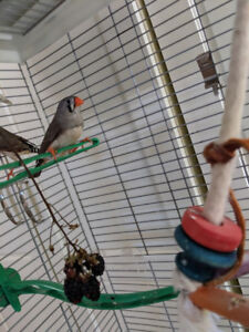 FS: Four healthy, beautiful young zebra finches ($10 each)