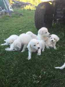 Marrema Sheepdog Puppies For Sale