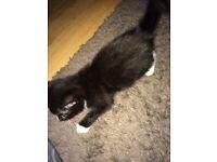 Last stunning kitten (maincoone x)