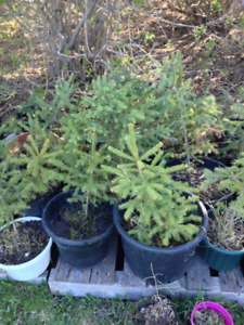 Potted Spruce, Maple & Willows