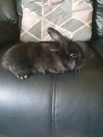 2 baby lionheads for sale