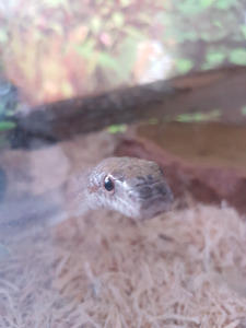 """White Oak"" Ratsnake w tank and accessories for sale"