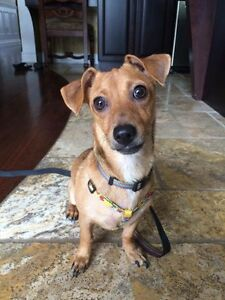 Paige 2-3 yr old Doxie x chihuahua for adoption