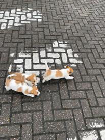 Minature jack Russell puppies