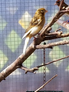 MALE CANARY 40$