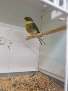 QUALITY CANARIES FOR SALE.