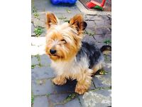 Terrier yorkshire for sale !!