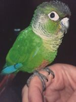 Male green cheeked conure