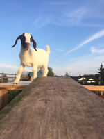 YOGA WITH GOATS - SORRY HAD EMAIL ISSUES - NEW ADDRESS BELOW