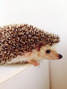 Male hedgehog for sale looking for a forever home!