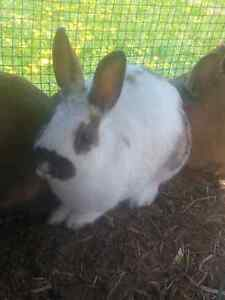 LOTS OF BUNNIES FOR SALE FROM CHRISSRABBITRY