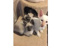 georgeous siamese kittens ready to leave now