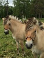 7 years old mare Fjord and 1 year old mare Fyord