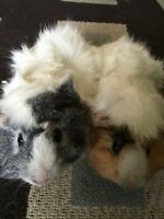 Free 2, 1 year old long hair guinea pig sisters