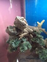 2 Male Bearded Dragons for Sale
