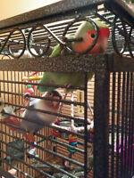 Couple d'inséparables avec grande cage