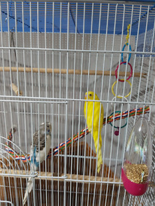 Budgies with a huge cage and accessories for sale