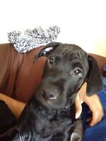 Male black lab for sale (3months)