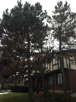 Insured Tree and Stump Removal - Very Competitive Rates
