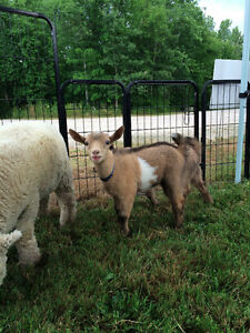 Registered Nigerian Dwarf Buck Goats INTACT breeding boys Peterborough Peterborough Area image 4