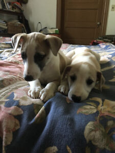 Whippet Puppies, 2 males