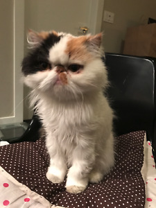 Cute female Persian looking for new home