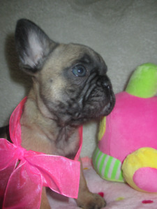 FRENCH BULLDOG HEALTHIEST TOP QUALITY PUPPIES !