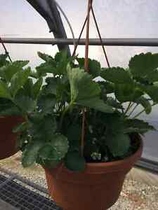 Strawberry Hanging Baskets/Planters