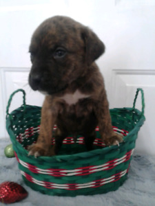 Golden boxer retriever puppies delivery on the 15th