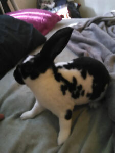 Mini Rex/Holland Lop mix bunnies for sale $20