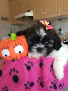 BEAUTIFUL PURE BREED IMPERIAL SHIH TZU PUPPIES! LAST ONE!