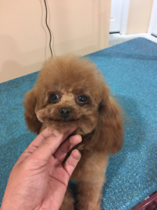 Red toy poodle ready to go