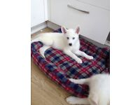 2 female husky left