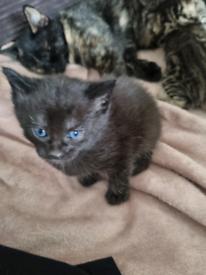 Cute male kitten ready early october