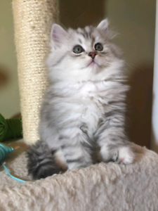 Hypoallergenic Siberian Kittens for Sale