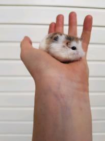 Hamsters for sale - Gumtree