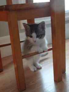 11 week old female kitten to give away