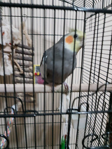 Cockatiel For sale , with large cage toys and bird food