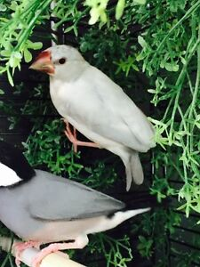 White baby Java Sparrow Finch for sale. Beautiful bird